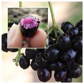 fpn_1589239082__njaval_pazham_berry.jpg
