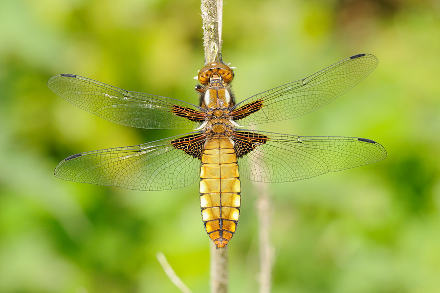 broad_bodied_Chaser_female_MPF4384.jpg